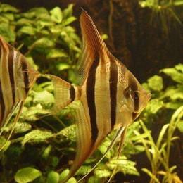 哥伦比亚埃及神仙鱼进口清关